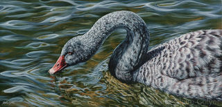'Reflections - Juvenile Black Swan'