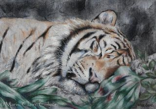 'Sumatran tiger sleeping – study'