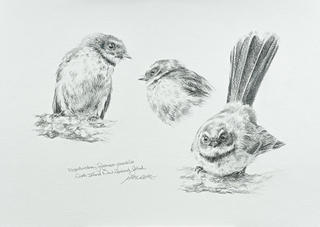 'Fantail Study 1'