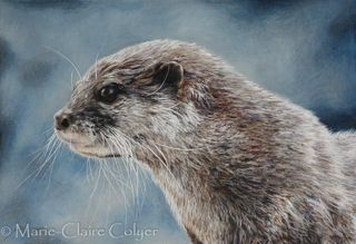 'Short-clawed Asian otter - Study 3'