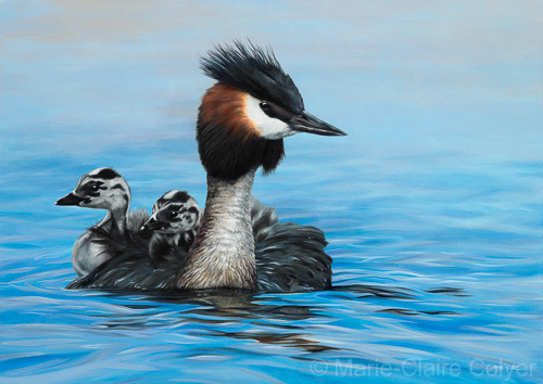 'Reflections - Australasian Crested Grebes'