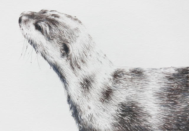 Artwork commission Short- clawed otter Study 1-1 by Marie-Claire Colyer