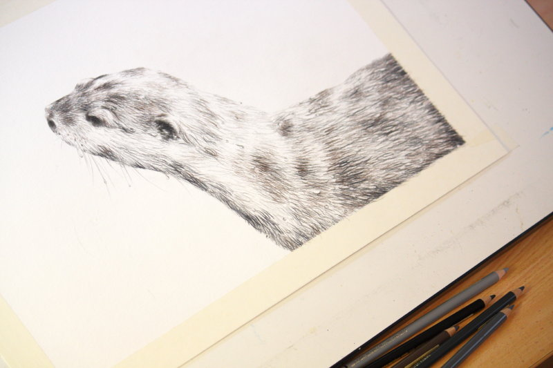Short-clawed Otter sketch – 2013