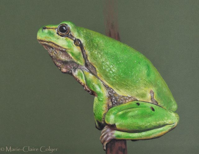 European tree frog drawing by Marie-Claire Colyer