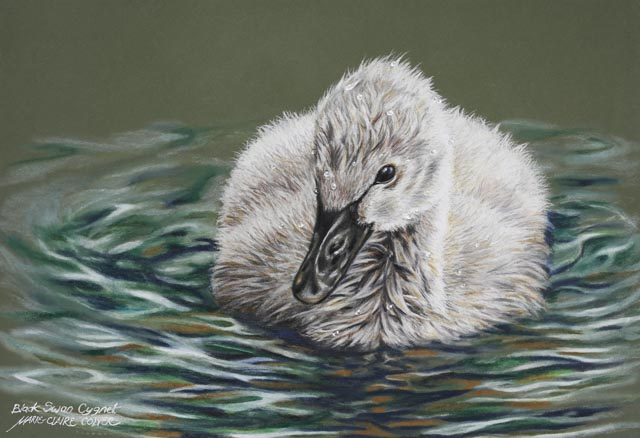 black swan cygnet by marie-claire colyer