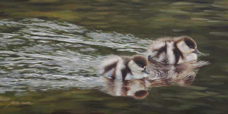 'Hastening - Paradise Shelduck Ducklings'