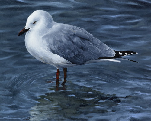 'Reflections - Red-billed Gull'