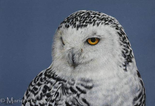 Snowy owl drawing by Marie-Claire Colyer