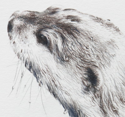 'Short clawed Asian Otter Study 1-1' (detail)