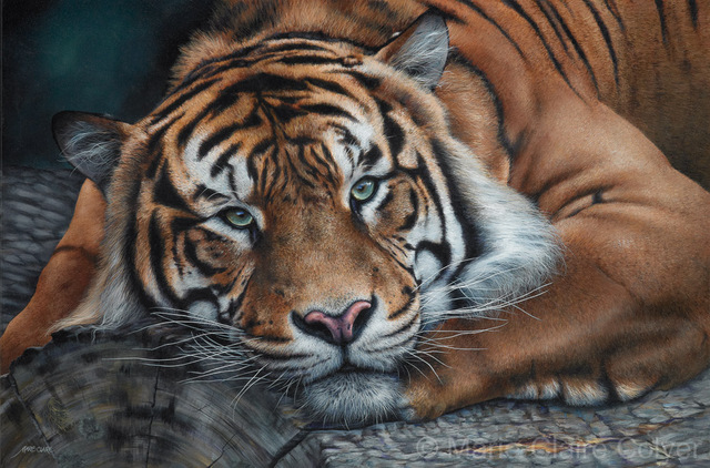 'Sumatran Tiger - Intensity'